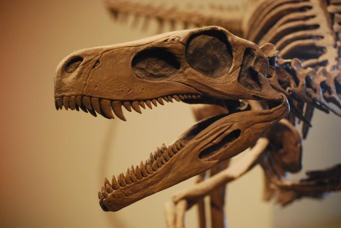 헤레라사우루스의 두개골 구조. 연구진은 삐뚤빼뚤하게 난 '이형치아'를 토대로 헤레라사우루스가 초식과 육식을 모두 아우른 잡식을 했을 것으로 추정했다. - 위키미디어 제공